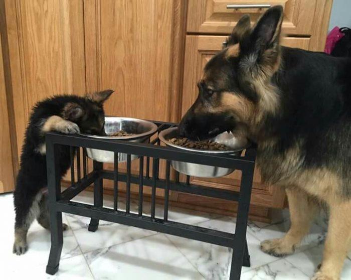 Взрослая немецкая овчарка и щенок едят из мисок