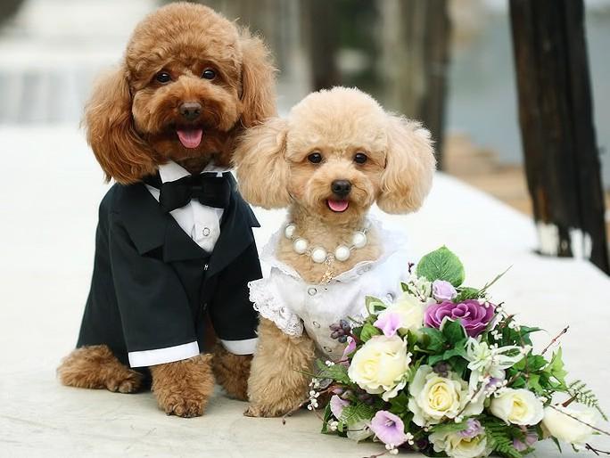 Пудели на свадьбе