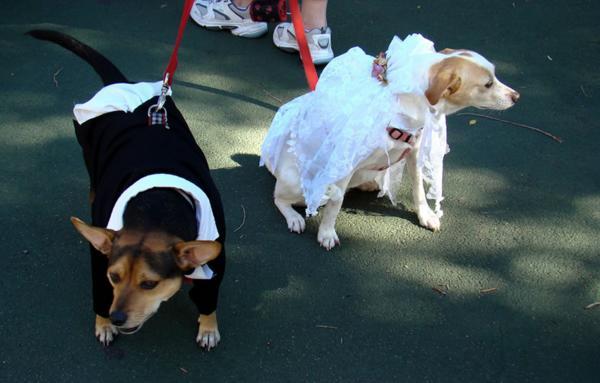 Прогулка с собаками в свадебных костюмах