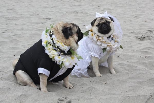 Свадьба мопсов