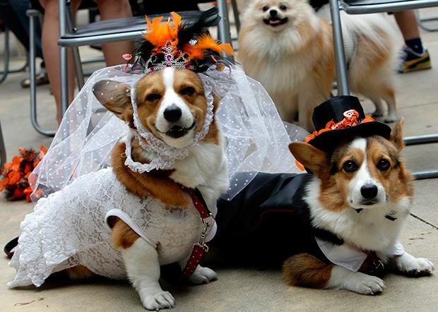 Свадьба корги