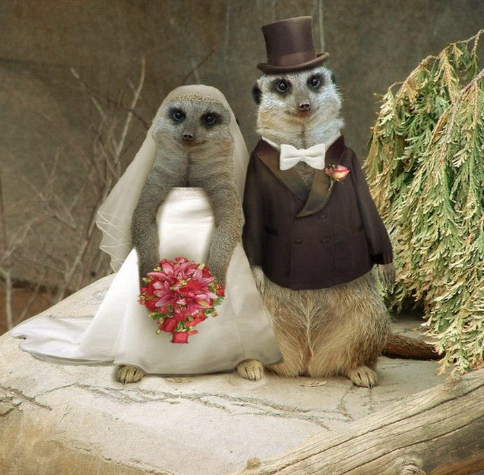 Свадьба суррикатов