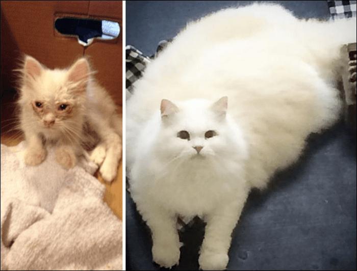Котёнок, выросший в пушистого кота