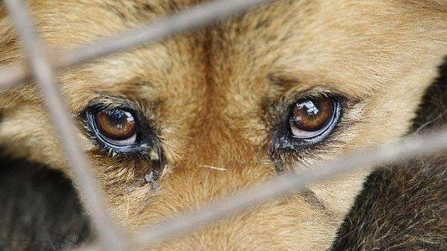 Слёзы собаки