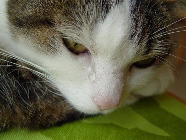 Слёзы кошки