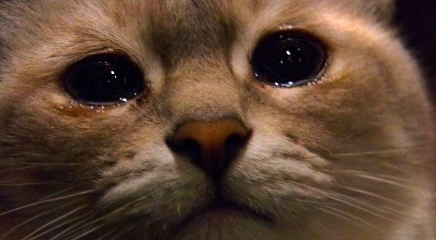 Кот плачет