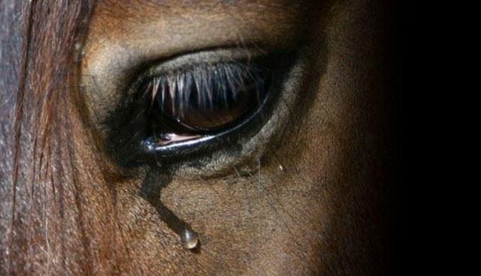 Слёзы лошади