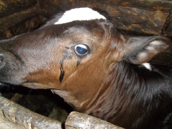Корова плачет