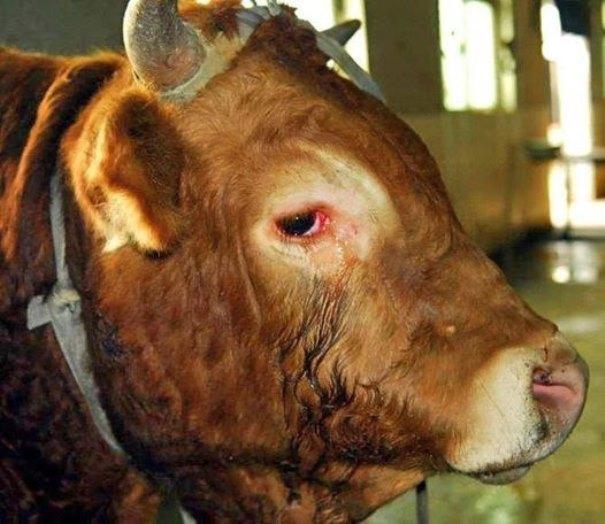 Слёзы коровы