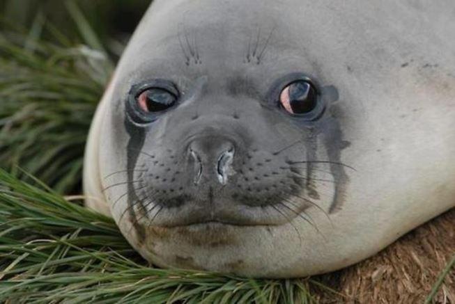Тюлень плачет