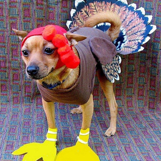 Собака в костюме индейки