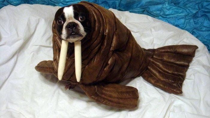 Собака в костюме моржа