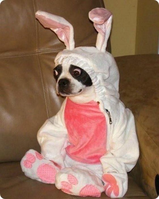 Пёс в костюме зайчика