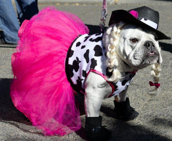 Собака в гламурном костюме