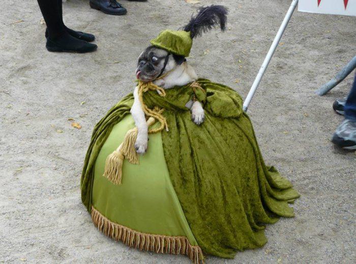 Мопс в роскошном платье