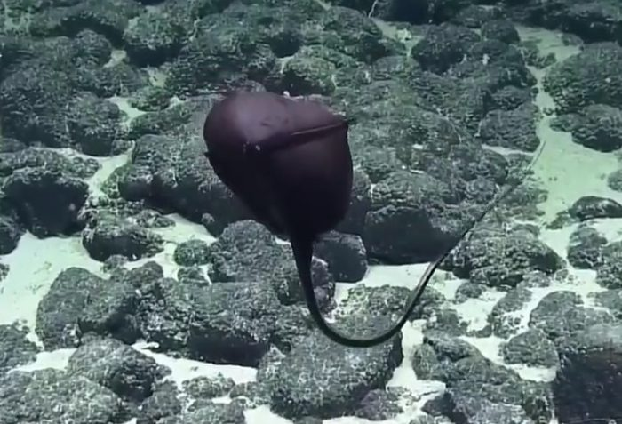 Угорь-пеликан