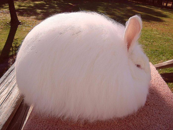 ангорский кролик,