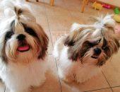 Собачки порода ши-тцу провели три года на щенячьей ферме