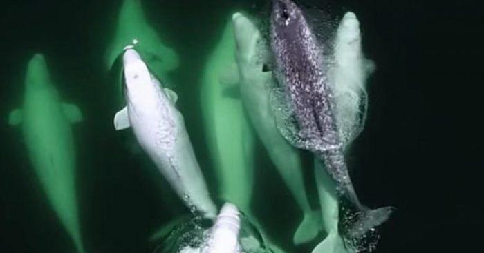 Нарвала приютила стая китов