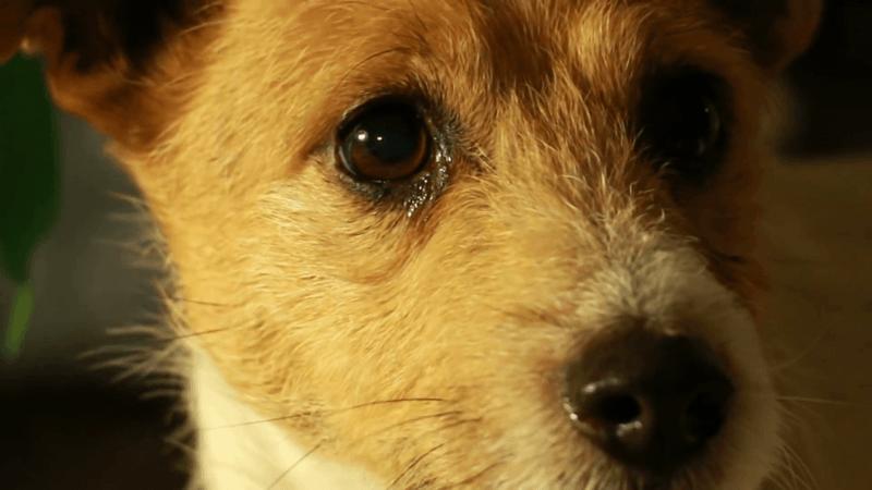 Одноглазому и глухому псу удалось найти любящую семью