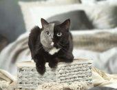 Самая красивая кошка с двумя лицами