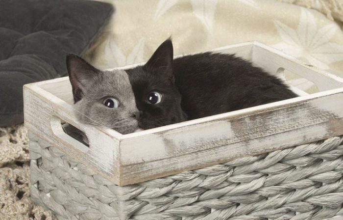 Двуликая кошка Нарния