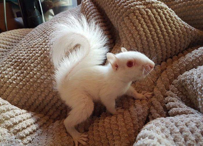 Бельчонок-альбинос