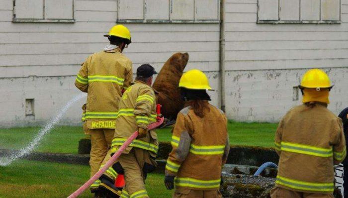 Пожарные поливают сивуча водой