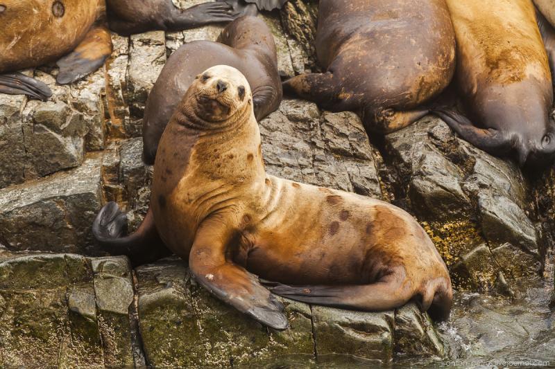 На Аляске 4 дня пытались прогнать морского льва