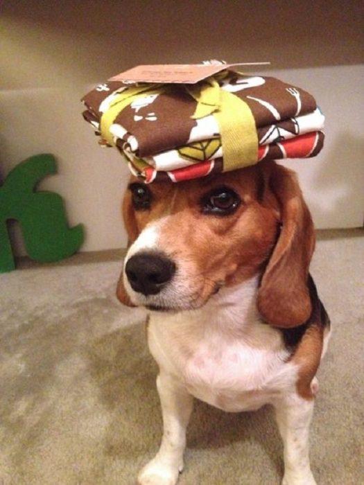 Собака с салфетками на голове