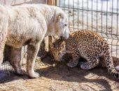 Собака воспитала леопарда