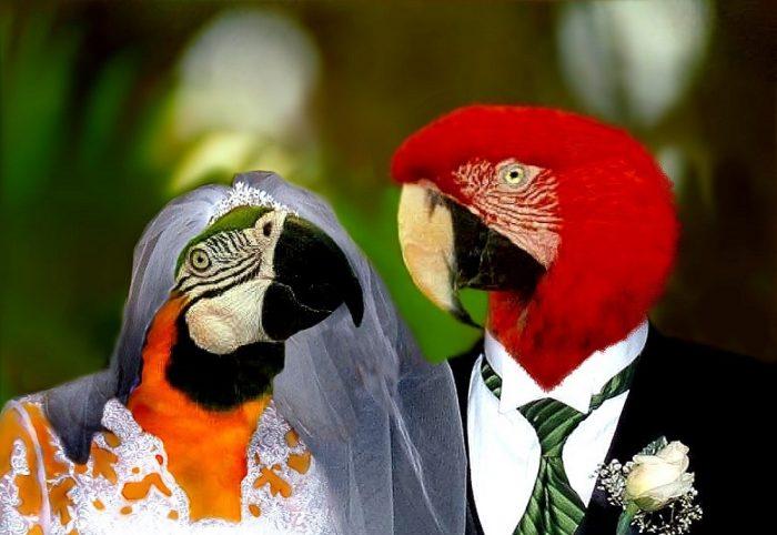Свадьба попугаев