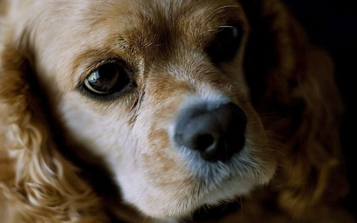 Собака породы американский кокер-спаниель