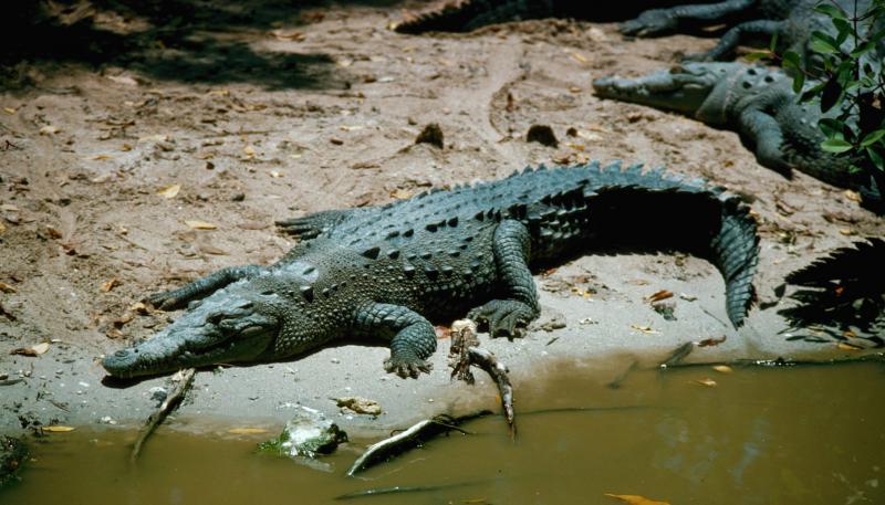 Турист оседлал пятиметрового крокодила
