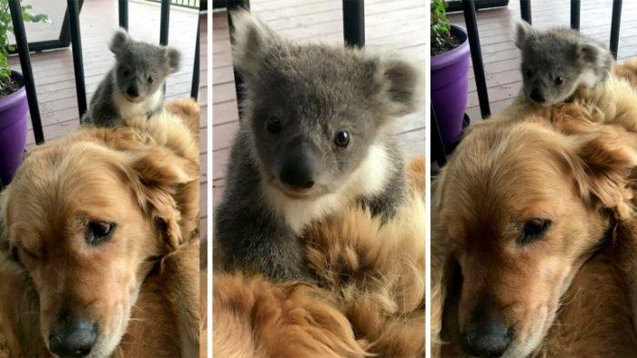 Детёныш коалы на спине золотистого ретривера