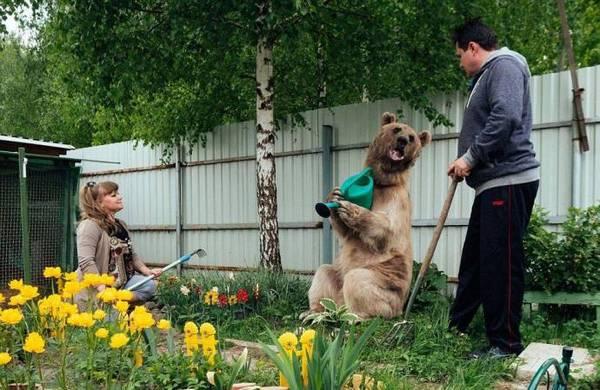 Медведь помогает по хозяйству