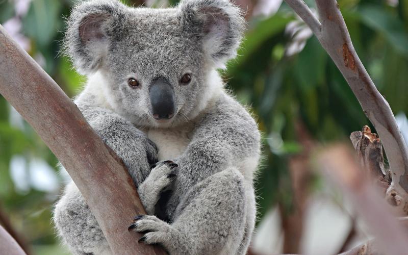 В Австралии золотистый ретривер спас от холода коалу