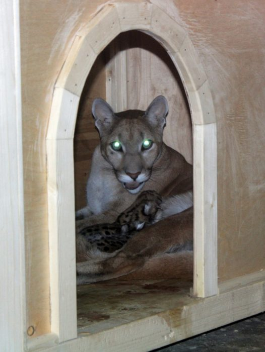 Пума Афина родила пять котят