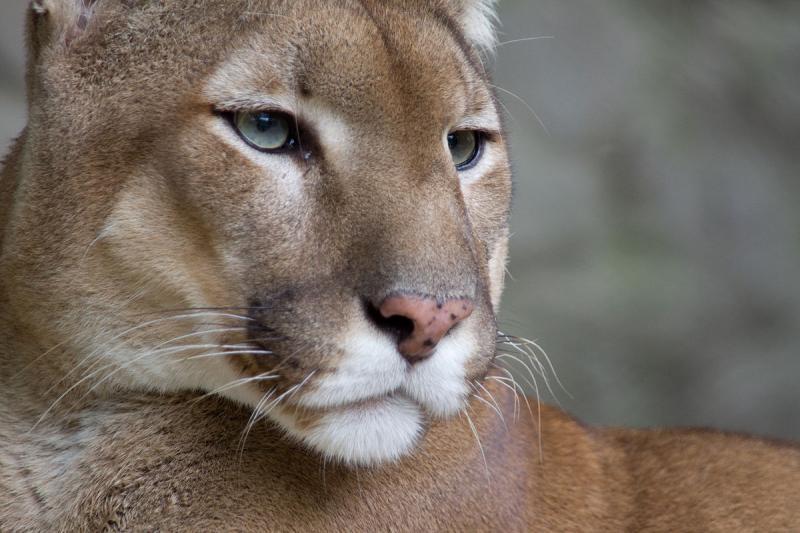 В зоопарке Пензы пума родила пять котят