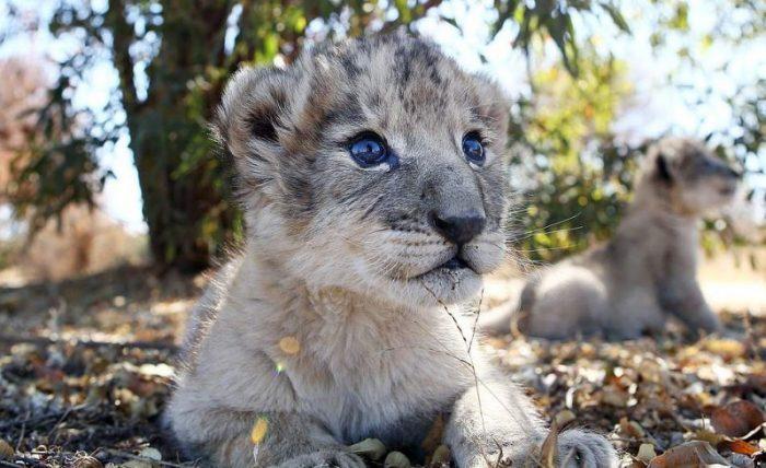 Лев из пробирки