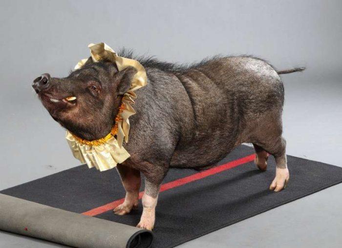 патрульные свиньи