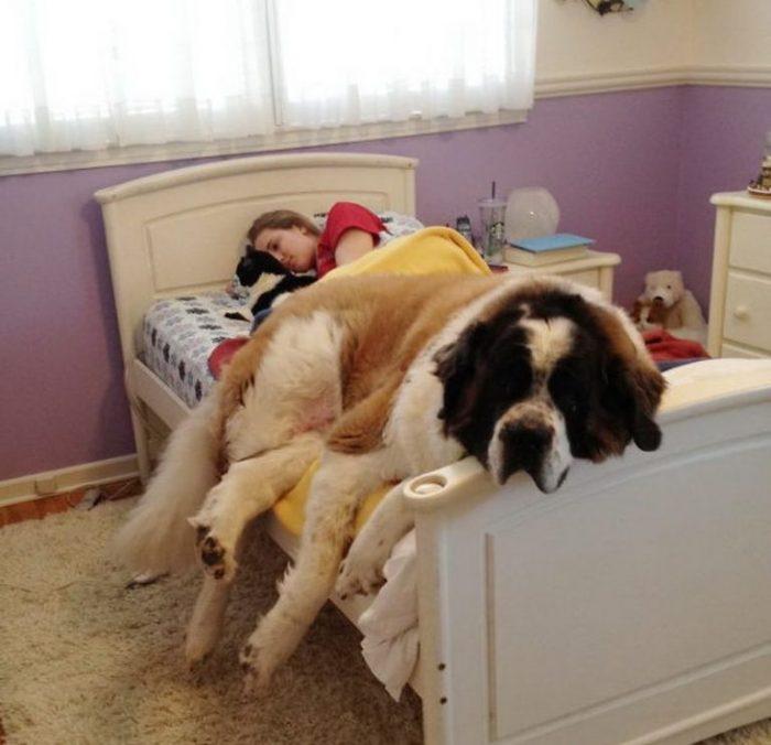 собака ложится спать прямо на хозяина