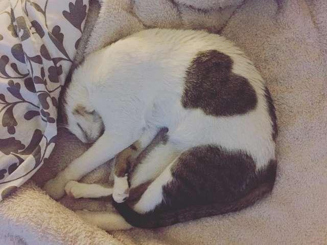 У кошки оказалось милое сердечко на шерсти