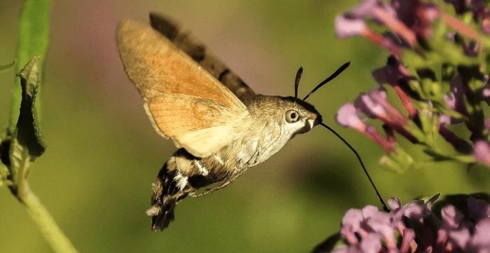 бабочка языкан