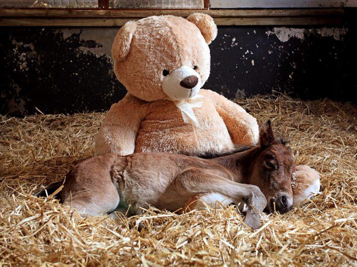 жеребенок спит с игрушкой