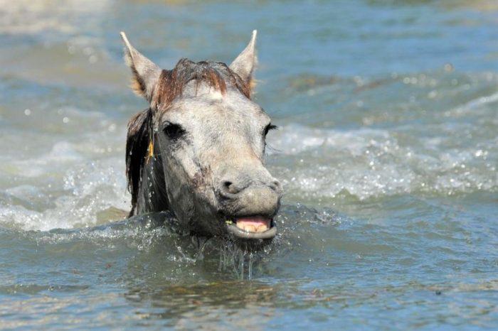 жеребенок плавает в реке