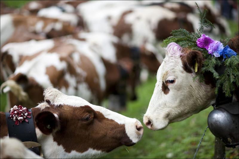 Породы молочного и мясного крупного рогатого скота — подробное описание и фотографии