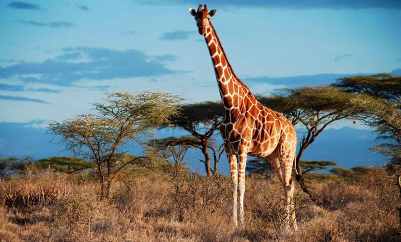 Детёныши жирафа наследуют узор пятен только от матери