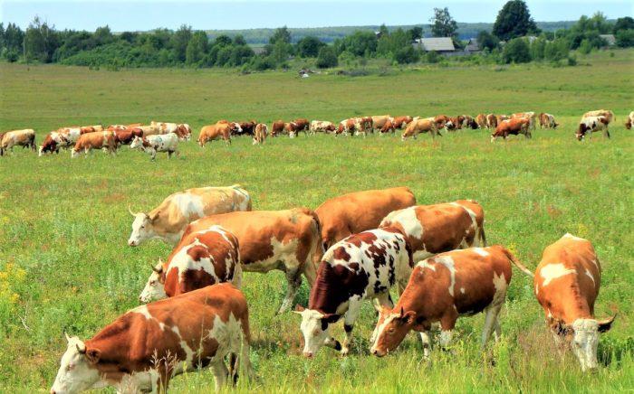 айширские коровы на выпасе