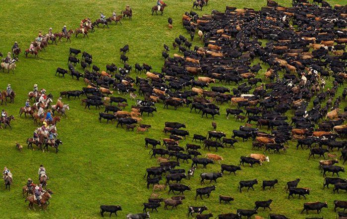 стадо быков мясных пород